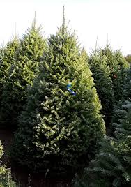 balsam fir christmas tree wholesale christmas trees fraser fir balsam fir valfei