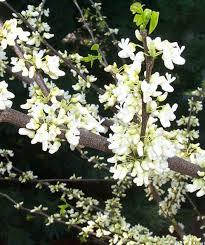 white redbud single stem