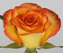 color roses wholesale bulk discount cut roses colombia ecuador high and magic