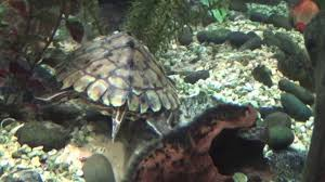 Ringed Map Turtle Barbour U0027s Map Turtle Graptemys Barbouri Youtube