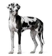 boxer dog disposition information about the lovably naughty great dane boxer mix breed