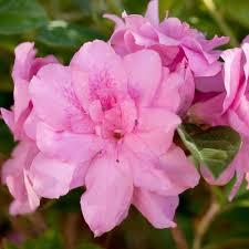 encore azalea 2 gal autumn carnation re blooming evergreen