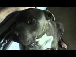 american pitbull terrier yavru pitbull blueberry youtube