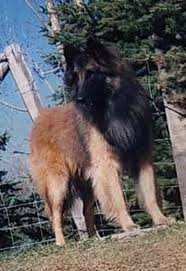 belgian shepherd groenendael for sale uk 45 best groendael images on pinterest belgian shepherd shepherd
