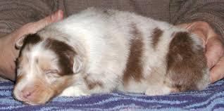 2 australian shepherds arcoiris australian shepherds remy u0026 kwill puppies 2 weeks old