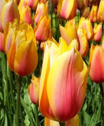 tulip blushing beauty single late tulips tulips flower bulb