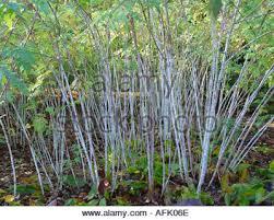 rubus cockburnianus white stems in winter on this ornamental stock