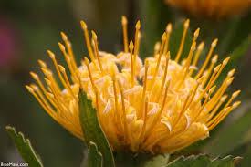 Protea Flower Maui Plant Of The Month Protea Flowers