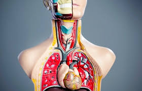 Anatomy And Physiology Exercise 10 Anatomy Image Organs Page 145 Human Anatomy And Physiology Lab