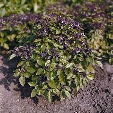 basil seeds 50 basil patio rascal herb seeds ornamental basil ebay