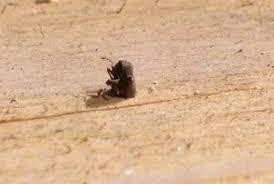 Powder Post Beetles In Hardwood Floors - woodboring beetles crawl out of the woodwork debugged