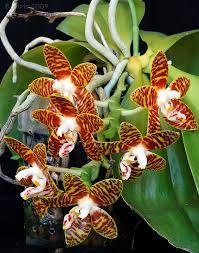 20 phalaenopsis amboinensis anggrek bulan ambon here are some