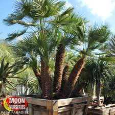 mediterranean fan palm tree mediterranean fan palm palm tree palm paradise nursery