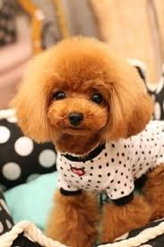 different toy poodle cuts hello my name is ginger do you have a fur friend animal loves