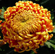 straw flowers straw flower helichrysum bright chrysanthemum seeds