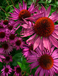 Summer Flower Garden Ideas - 122 best flowers coneflowers images on pinterest flowers
