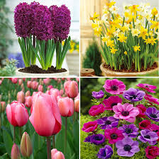 flowering bulbs time to plant now poppy s home garden