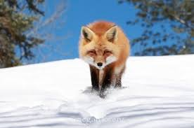 Meme Fox - create meme fox is chanterelle red fox the fox in winter
