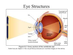 What Is The Blind Spot Vision Is More Than What We See Karl Lashley American