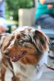 3 winds ranch australian shepherd yes our children has gone to enhance others now we can finally