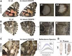 genetic basis of melanin pigmentation in butterfly wings genetics