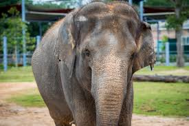 Christmas Lights At Houston Zoo by Asian Elephant Tess Miscarries Twin Calves Houston Zoo