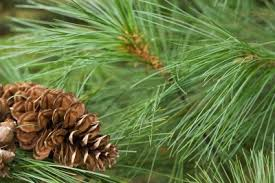 tips for planting white pines care of white pine trees in the