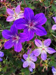 Geranium by Buy Geranium Wlassovianum U0027fay Anna U0027 2l
