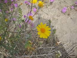 anza borrego wildflowers anza borrego wild flowers ocotillo wells desert ironwood resorts