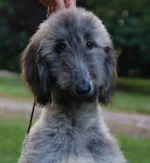 afghan hound sale jolie afghan hounds ted bella puppies 6 week