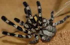 indian ornamental tarantula branson s world