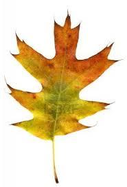 White Oak Leaf 174 Best Oak Reference Images On Pinterest Oak Leaves 19th