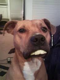 Big Teeth Meme - funny dog with big teeth bajiroo com