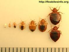 What Do Bed Bugs Eat Bed Bug Anatomy Infographic Fmc Pest Wire Bed Bugs Pinterest