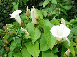 Garden Plants Names And Pictures by Controlling Bindweed How To Get Rid Of Bindweed
