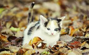 cute fall wallpaper hd apple mac desktop wallpapers hd kitten in autumn leaves apple mac
