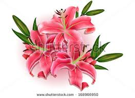 Pink Lily Flower Flower Vectors Lily Flowers