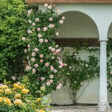 english rose climbing collection 3 roses walls u0026 fences