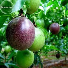 edible fruits aliexpress buy purple passiflora edulis germination