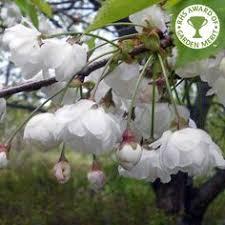 prunus pendula pendula rubra tree jardineria