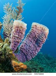 Strawberry Vase Sponge Marine Sponges Stock Images Royalty Free Images U0026 Vectors