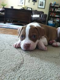 american pitbull terrier jaw 1015 best pitbulls images on pinterest animals dogs and pit
