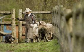 australian shepherd herding herding skills unleashed the columbian