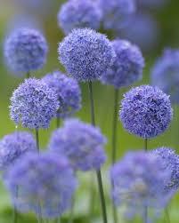 allium flowers allium azureum bulbs blue allium dutchgrown amazingly