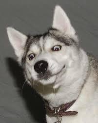 Siberian Husky Meme - create meme progressa dog progressa dog siberian husky