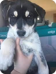 australian shepherd husky mix parker adopted puppy north brunswick nj australian shepherd