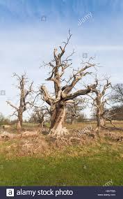 dead oak tree in an empty field in winter britain uk stock photo