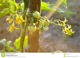 flowers and fruits tomato plant with flowers and fruits and sunrays stock photo