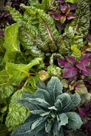 perennial garden vegetables chard companion plants u2013 tips on companion planting with chard