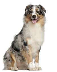 australian shepherd 6 jahre shetland sheepdog puppies breed information u0026 puppies for sale